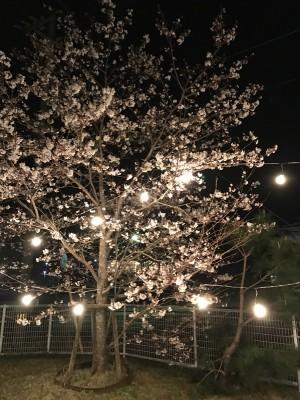 日が落ちると少~し肌寒いけど、桜は綺麗に咲いていました。